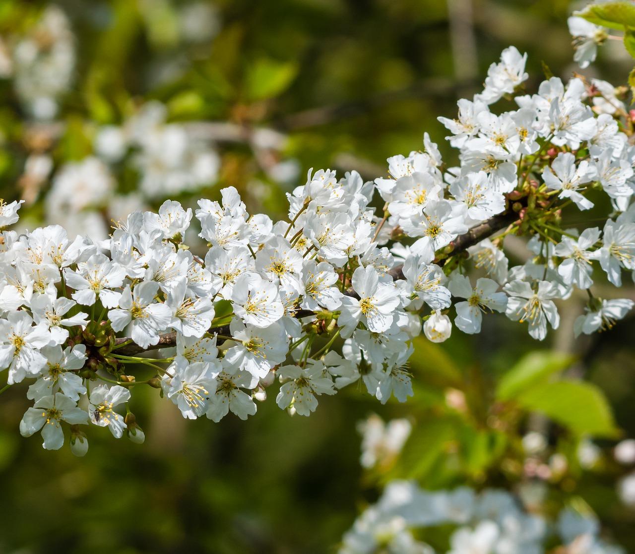 Biancospino, tutti i benefici della pianta del cuore